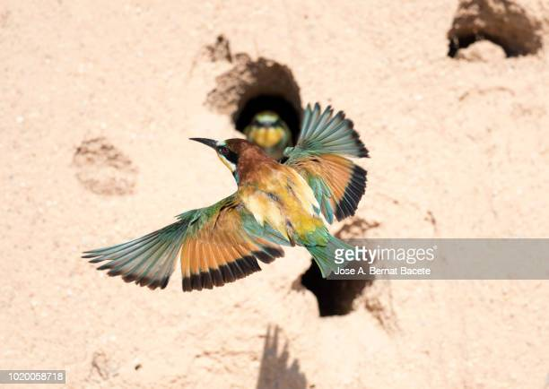 European Bee-eater (Merops apiaster). Bird with an insect in the beak feeding its pals, flying next to the nest built in the sand.