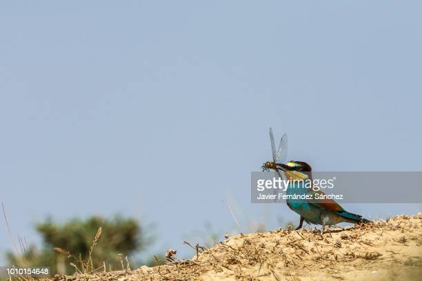 A european bee-eater has captured with its beak a huge emperor dragonfly. Merops apiaster.