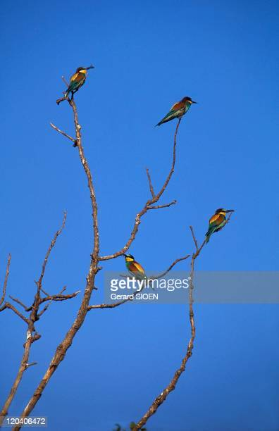 European Beeeater in Camargue France Superb Motley coraciadiforme arrives from Africa in spring and returns in September Perched on a tree or on a...