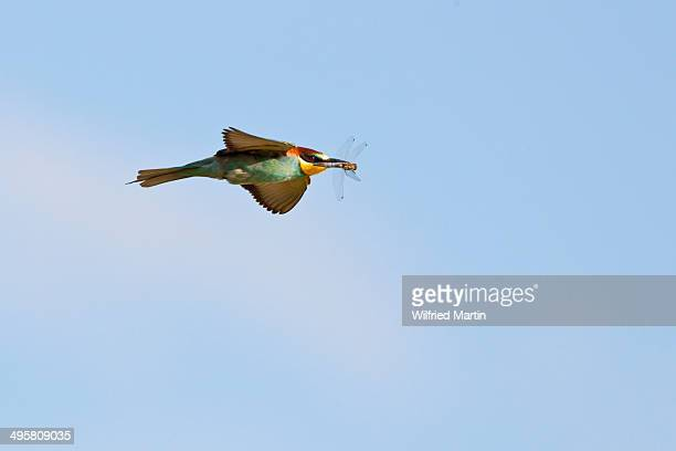 European bee-eater -Merops apiaster- in flight with dragonfly in its beak, Saxony-Anhalt, Germany