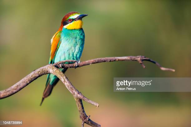 European bee-eater - Merops apiaster - on a branch in the morning.