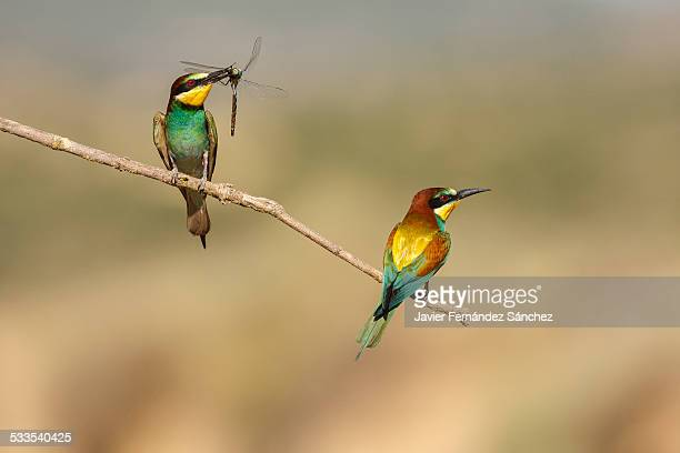European bee-eater with dragonfly in its beak