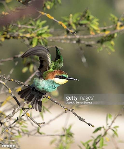 European Bee-eater (Merops apiaster) With wings deployed flying from a tree . Spain