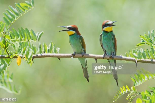 European bee-eaters (Merops apiaster) sitting on branch of an acacia, Baden-Wuerttemberg, Germany