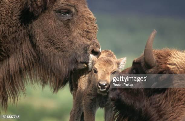 European Bison and Calf, Scotland