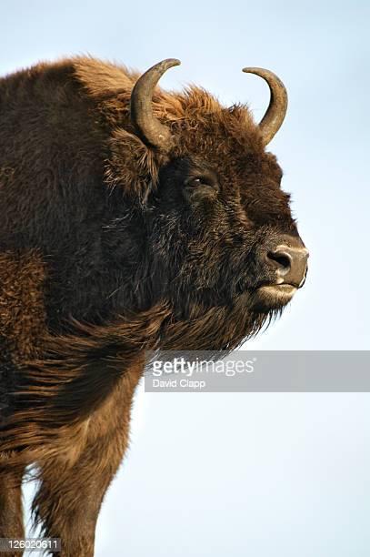 European Bison, Bison bonasus, Female in strong wind, Highland Wildlife Park, Aviemore, Scotland, UK