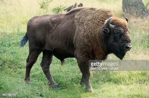 European bison Bovinae