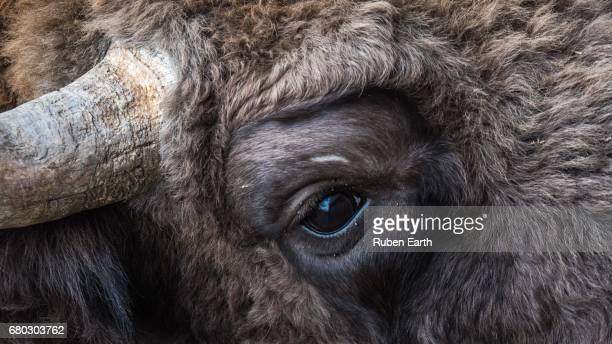 European Bison eye close up