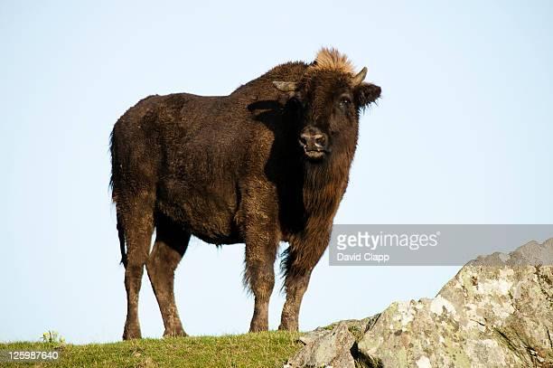 European Bison (Bison bonasus) female in strong wind, Highland Wildlife Park, Aviemore, Scotland, UK
