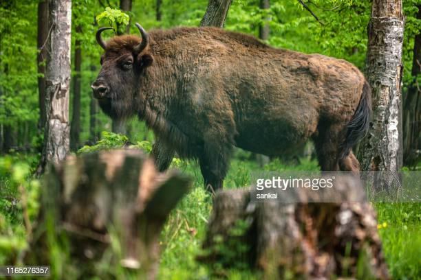 bisonte europeu na reserva de natureza - oxen - fotografias e filmes do acervo