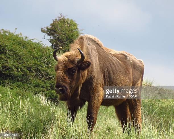 European bison on grass against sky