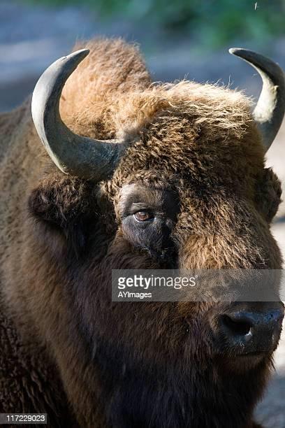 European Bison (B. bonasus)