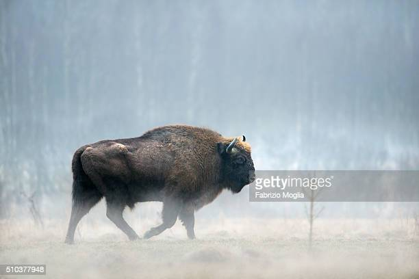 european bison - bialowieza forest stock pictures, royalty-free photos & images