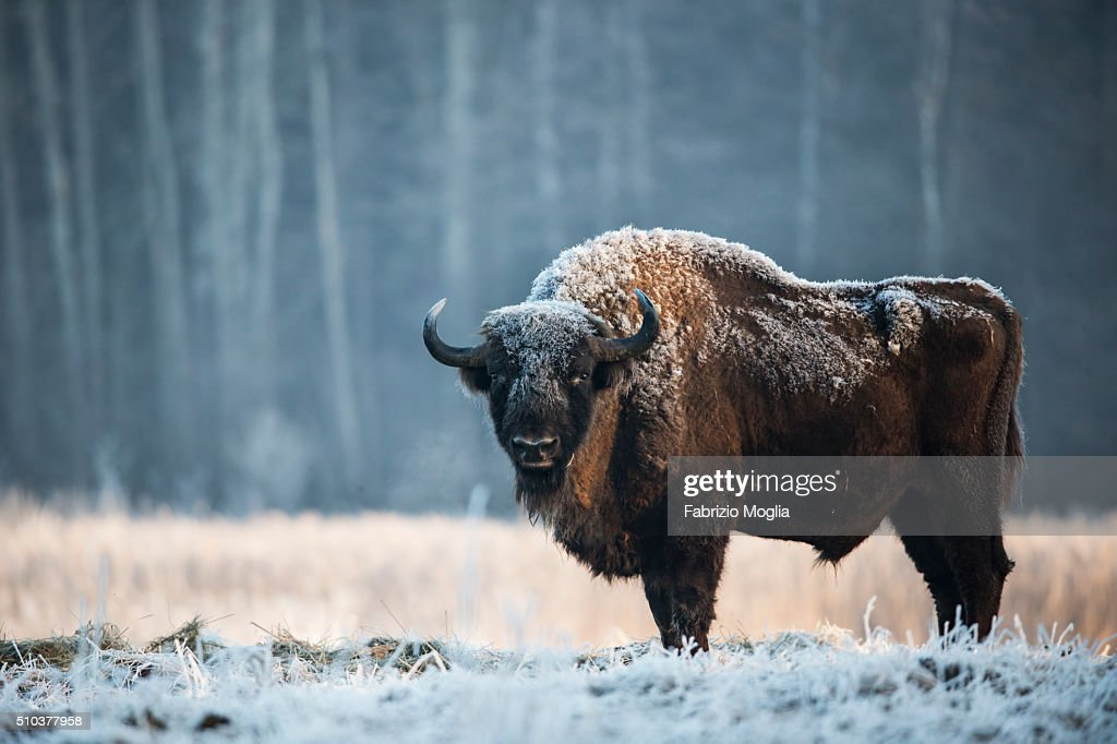 European bison : ストックフォト