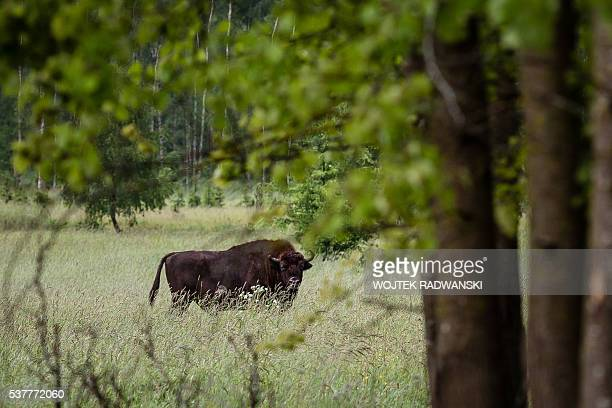 European bison , the symbol of Bialowieza forest is pictured in Bialowieza Forest on May 31 near Bialowieza. Today, this peaceful haven is the scene...