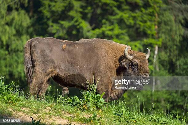 European Bisons, Bison bonasus
