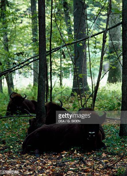 European bisons in Bialowieza Forest National Park Poland