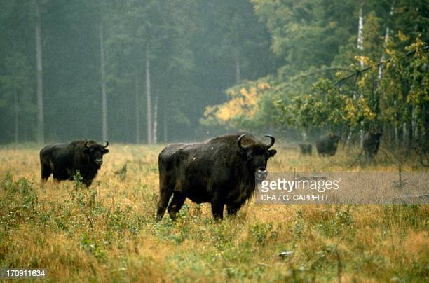 European bisons in Bialowieza Forest National Park , Poland.