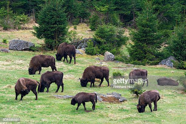 European Bisons or Wisents -Bison bonasus-, captive, Bavaria, Germany