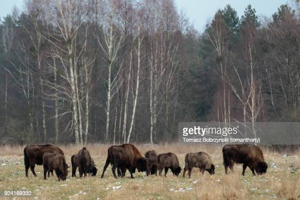 european bisons roaming free in bialowieza forest in poland - bialowieza forest foto e immagini stock