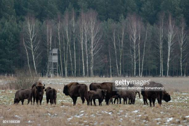 european bisons roaming free in bialowieza forest in poland - bialowieza forest imagens e fotografias de stock