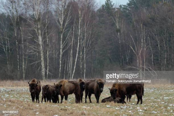 european bisons roaming free in bialowieza forest in poland - bialowieza forest photos et images de collection