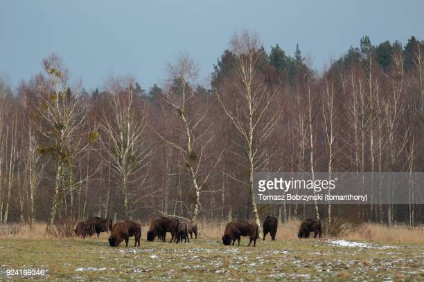 european bisons roaming free in bialowieza forest in poland - bialowieza forest stock pictures, royalty-free photos & images