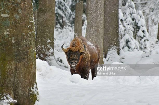 European Bisons, Wisent, Bison bonasus, Bull