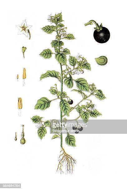 European black nightshade duscle garden nightshade hound's berry petty morel wonder berry smallfruited black nightshade or popolo Solanum nigrum