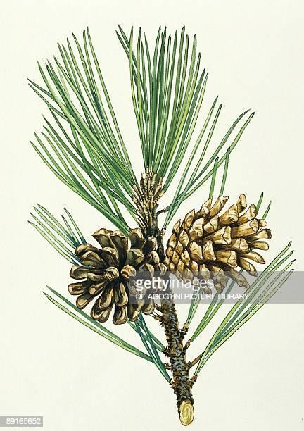 European Black Pine needles and cones illustration