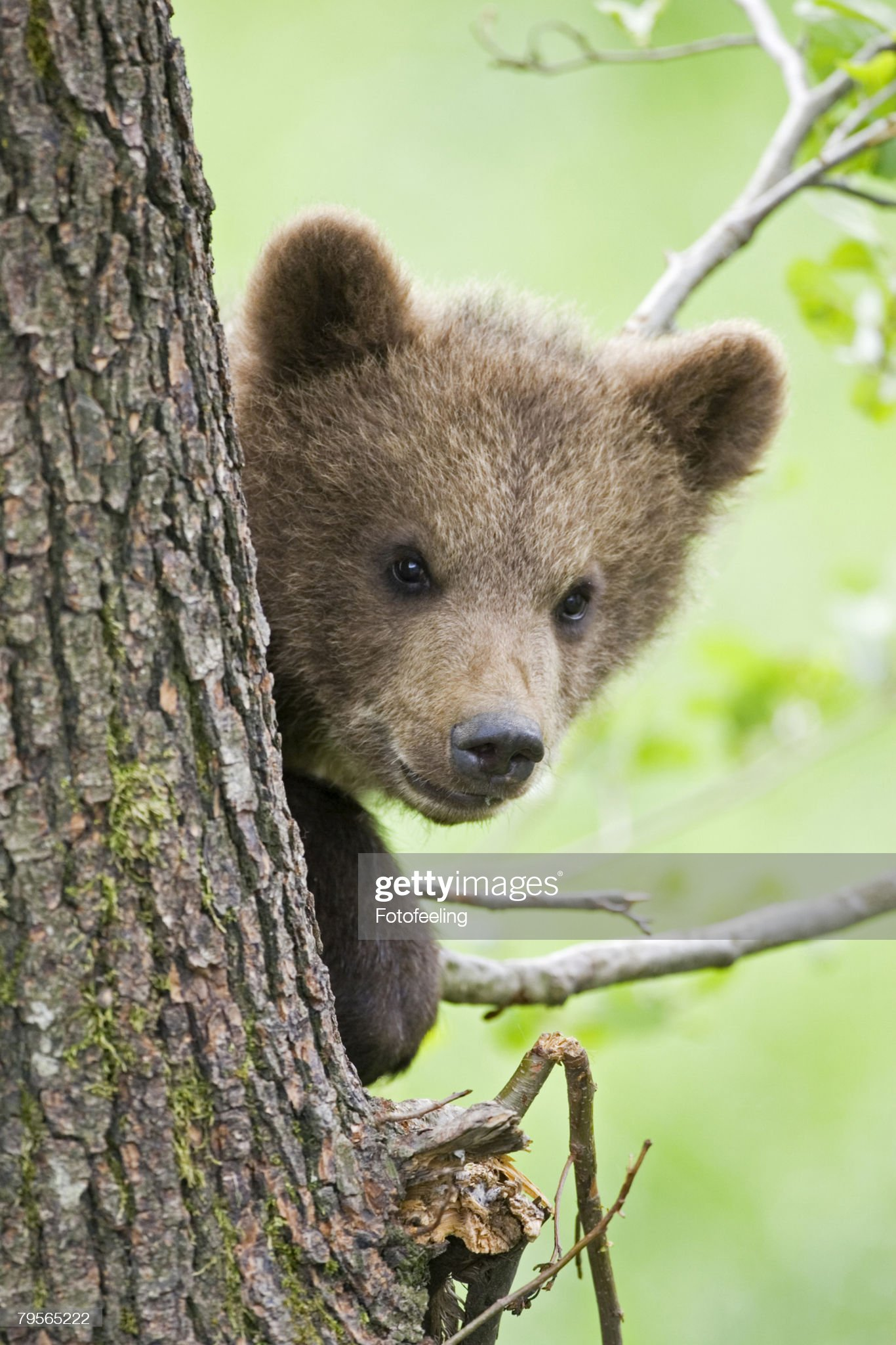 European Brown bear cub in tree (Ursus arctos), close-up : Foto stock