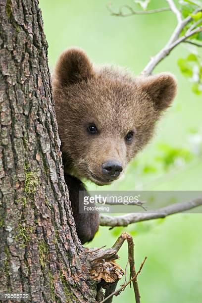 European brown bear (Ursus arctos) cub in tree, close-up