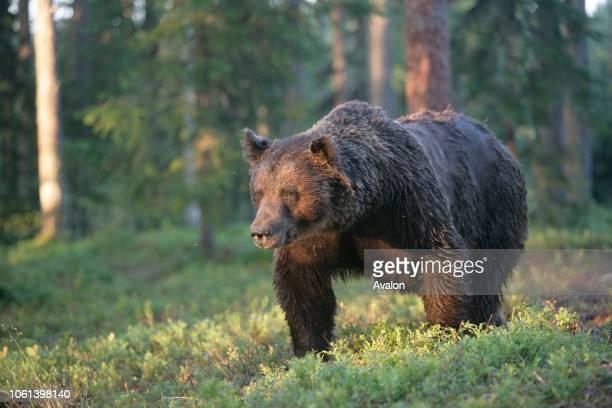 European brown bear Finland