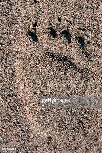 European brown bear footprint in sand Dalarna Sweden