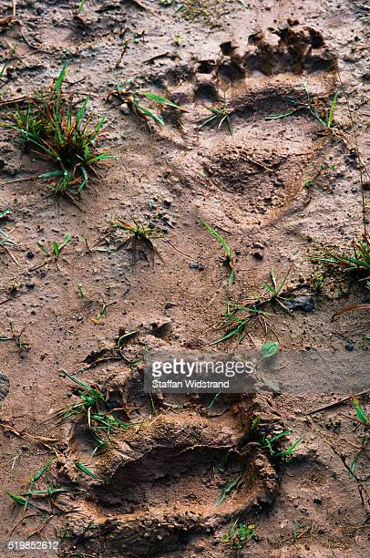 european brown bear footprints - bear tracks stock pictures, royalty-free photos & images
