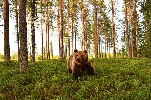 European brown bear in a forest scenery. Brown bear in a forest landscape. 629762814
