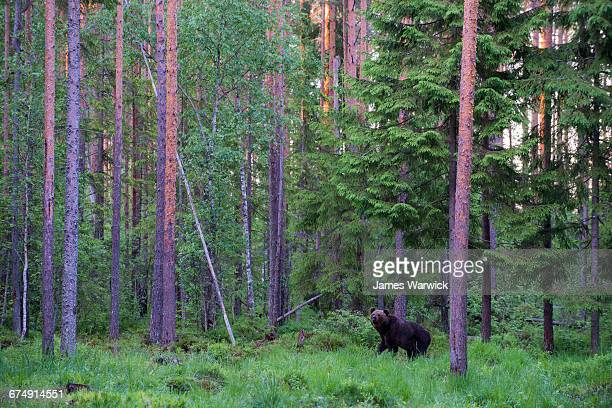 european brown bear in forest at twilight - estonia stock photos and pictures