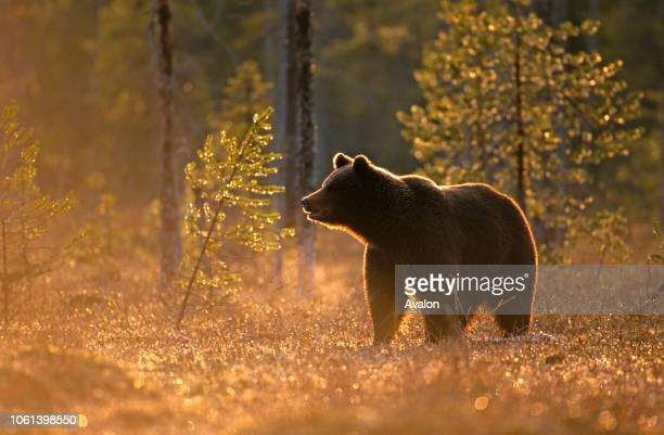 European Brown Bear in temperate forest Finland