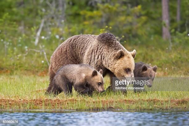 european brown bear (ursus arctos) - bear stock pictures, royalty-free photos & images