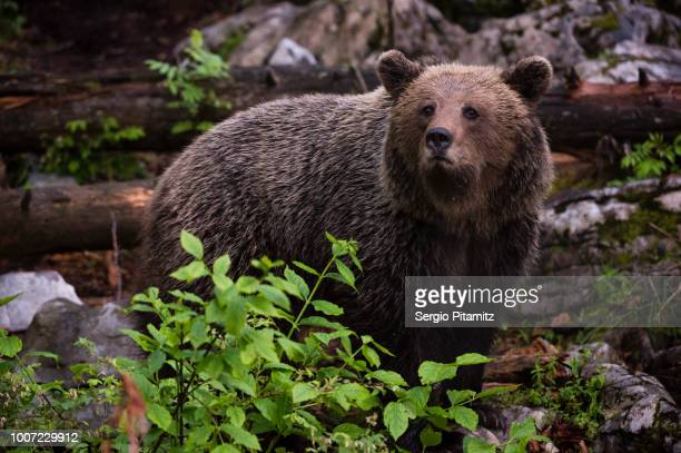 european brown bear (ursus arctos), slovenia, europe - mamífero con garras fotografías e imágenes de stock