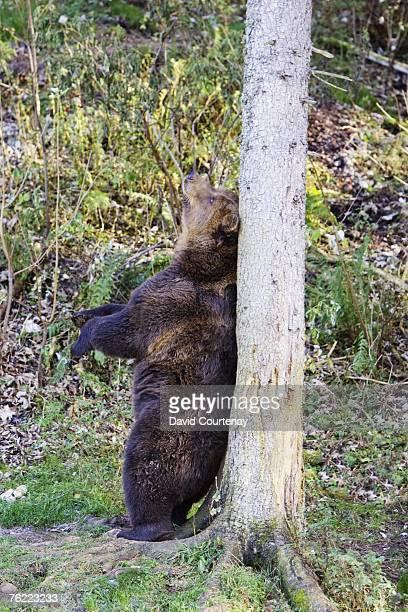 European Brown Bear, Ursus arctos arctos, captive bear scratching back against tree, Juraparc, Vallorbe, Switzerland
