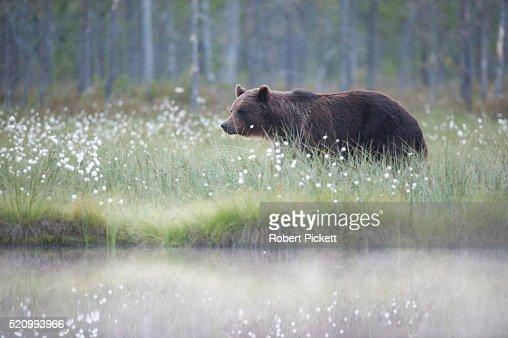 European Brown Bear, Ursus arctos arctos, Finland