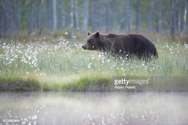 European Brown Bear, Ursus arctos arctos, Finland