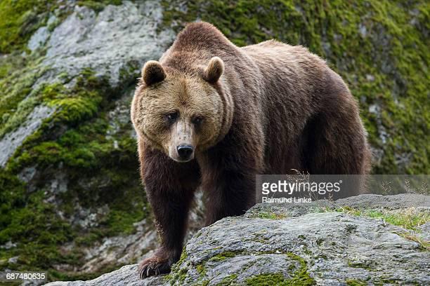 European Brown Bear, Ursus arctos