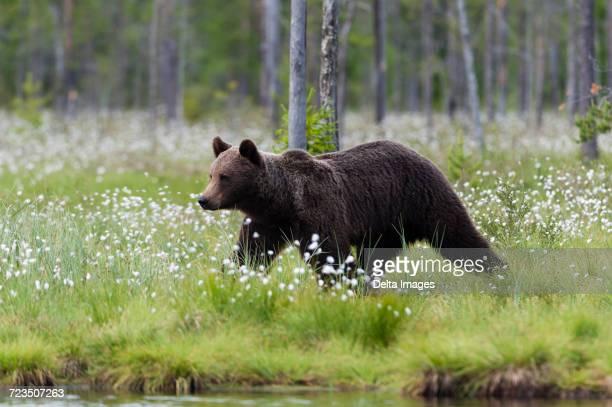 European brown bear walking in lakeside forest