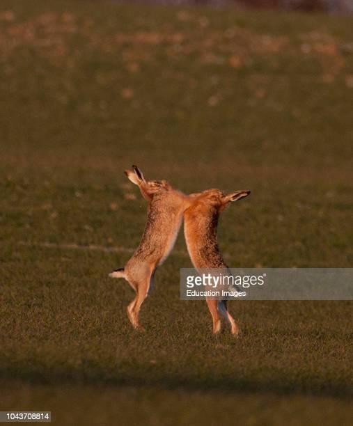 European Brown Hare boxing in spring Norfolk