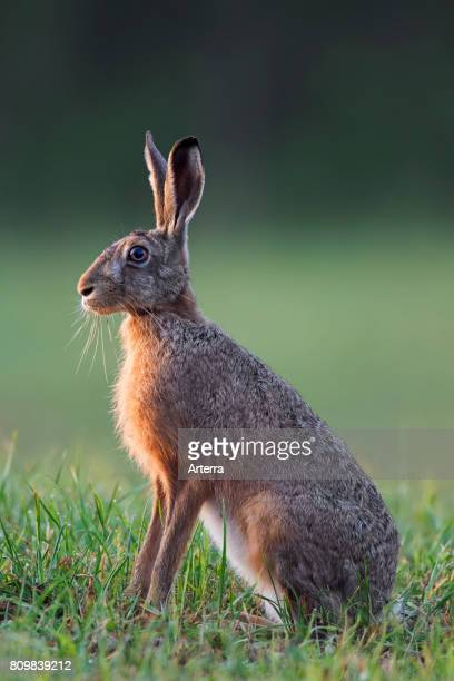 European Brown Hare female sitting in grassland