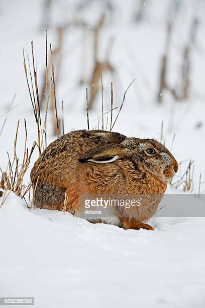 European Brown Hare in the snow in winter Germany