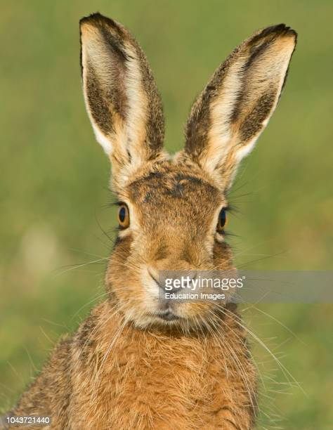 European Brown Hare Lepus europaeus in winter wheat field Norfolk UK