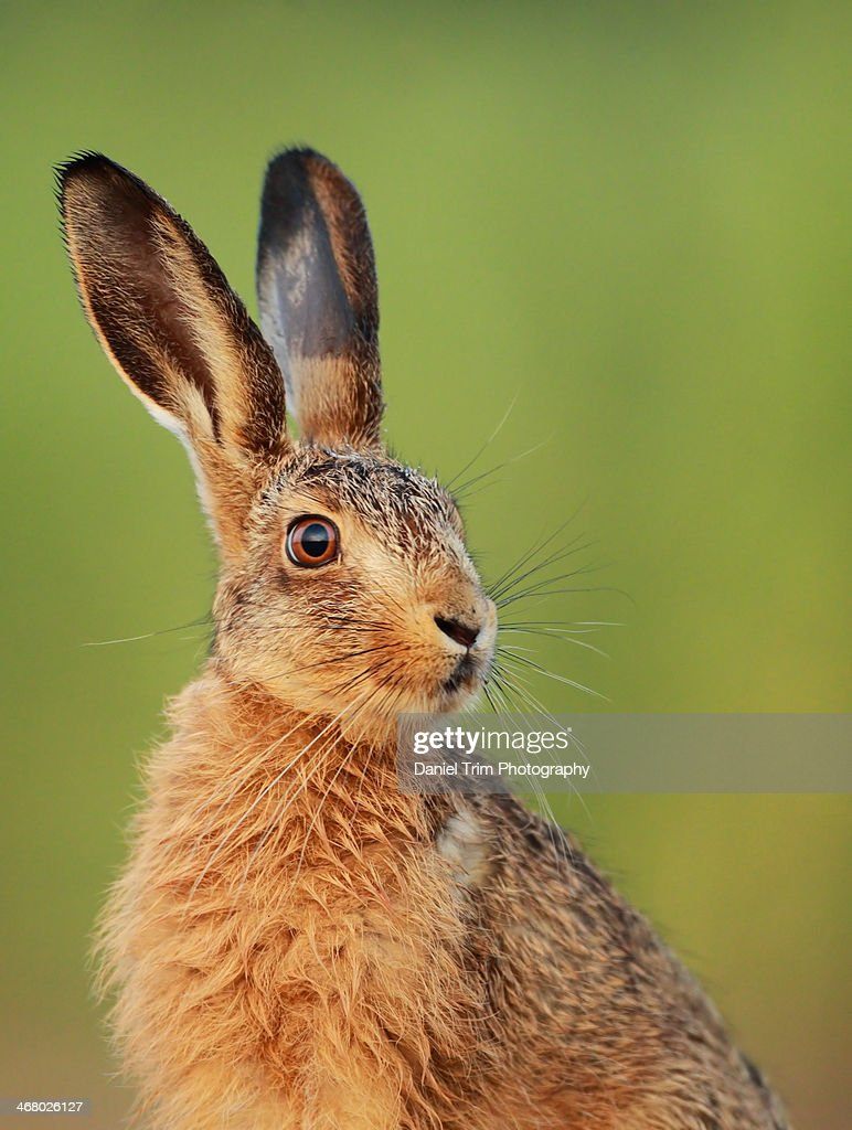 European Brown Hare Leveret : Stock Photo